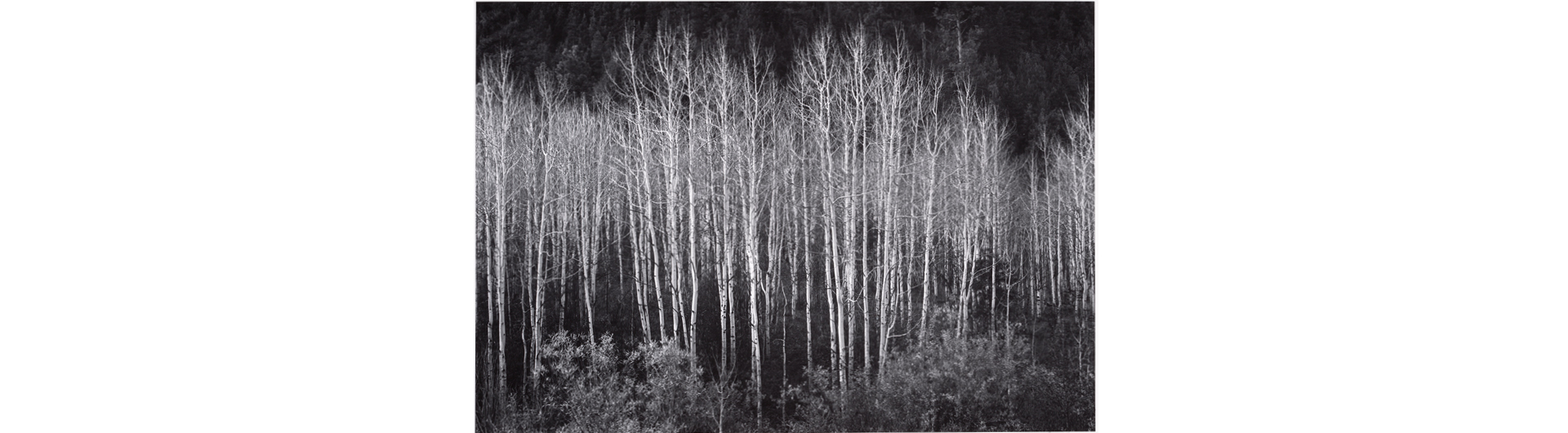 Photograph of Aspens by Ansel Adams